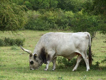 Grey Bull Grazing Stock Images