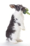 Grey bunny eating a broccoli, isolated Royalty Free Stock Photos