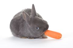 Grey bunny eating a carrot, isolated Royalty Free Stock Images
