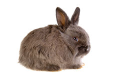 Grey bunny, isolated Stock Photography