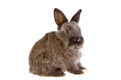Grey bunny, isolated Royalty Free Stock Photos