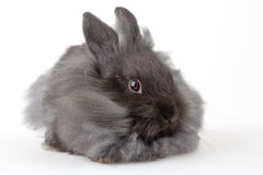 Grey bunny, isolated Stock Image