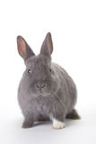 Grey bunny, isolated Royalty Free Stock Photo