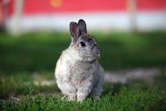 Grey Bunny Royalty Free Stock Photo