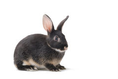 Grey bunny on a white background Royalty Free Stock Photography