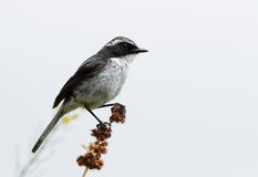 Grey bush chat on a branch Stock Photo