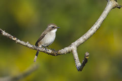 Grey bushchat female bird in Nepal Stock Image