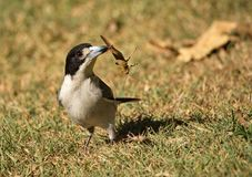 Grey Butcherbird  royalty free stock photos