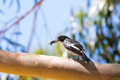 Grey Butcherbird, bird in black white with bug in its beak, in Western Australia stock image