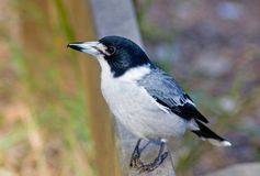 Grey Butcherbird, Cracticus torquatus stock images