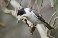 Grey Butcherbird (Cracticus Torquatus) stock images