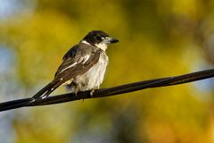 Grey butcherbird - Cracticus torquatus is a widely distributed species endemic to Australia, occurs in a range of different habit. Ats, has a characteristic royalty free stock images