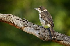 Grey butcherbird - Cracticus torquatus is a widely distributed species endemic to Australia, occurs in a range of different habit. Ats, has a characteristic royalty free stock photo