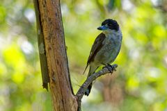 Grey butcherbird - Cracticus torquatus is a widely distributed species endemic to Australia, occurs in a range of different habit stock image