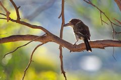 Grey butcherbird - Cracticus torquatus is a widely distributed species endemic to Australia, occurs in a range of different habit royalty free stock image