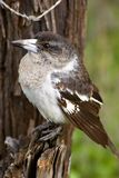 Grey butcherbird on a tree Stock Photography