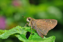 Grey butterfly. From Thailand background Royalty Free Stock Photography