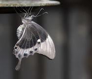 Free Grey Butterfly Royalty Free Stock Images - 7973749