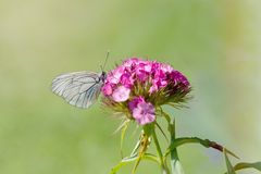 Grey Butterfly Perching on Purple Petal Flower Stock Photography