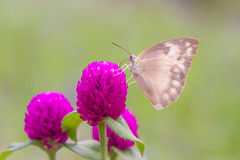 Grey butterfly from pink flower Royalty Free Stock Photo