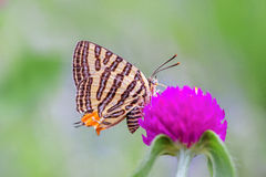 Grey butterfly from pink flower Royalty Free Stock Photos
