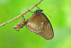 Grey butterfly with the shell Royalty Free Stock Photos