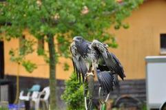 Grey Buzzard in gevangenschap royalty-vrije stock foto