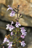 Grey Calamint Stock Photography