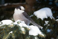 Free Grey Canada Jay In Algonquin Provincial Park, Ontario Stock Images - 107042594