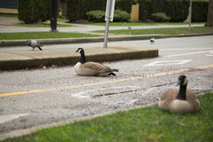 Grey Canadian geese resting bike lane royalty free stock photography