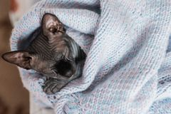 Grey Canadian sphynx kitten sleeping in knitted jumper. royalty free stock photos