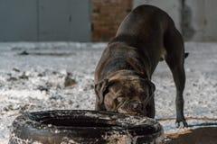 Cane corso dog pulling tire stock image