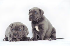 Grey cane corso puppies. Grey puppies isolated on white background Royalty Free Stock Images