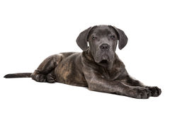 Grey cane corso puppy dog Stock Image