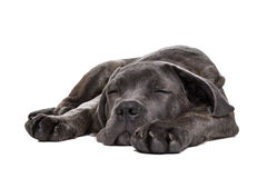 Grey cane corso puppy dog Stock Photo