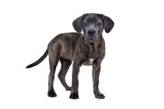 Grey cane corso puppy dog Royalty Free Stock Photo