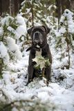 Grey Cane-de corsohond zit in de winterbos stock afbeelding