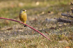 Grey-capped Greenfinch Royalty Free Stock Images