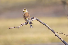 Grey-capped Greenfinch Royalty Free Stock Image