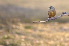 Grey-capped Greenfinch Royalty Free Stock Photo