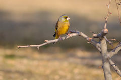 Grey-capped Greenfinch Stock Photos