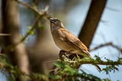 Grey-capped social weaver bird on thorny branch royalty free stock images