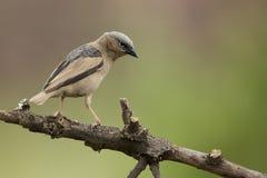Grey-capped Social Weaver (Pseudonigrita arnaudi) Serengeti, Tan. Zania Royalty Free Stock Photo