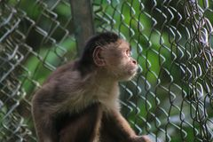 A grey capuchin monkey, cebus albifrons looking longing in the distance. Grey capuchin monkey, cebus albifrons looking longing in the distance royalty free stock photo