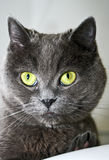 A grey cat. With yellow eyes Royalty Free Stock Photography