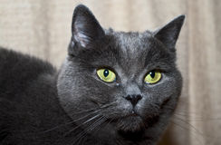 Grey cat. With yellow eyes Stock Photo