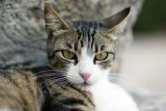 Grey cat. A grey cat taking a nap royalty free stock photo