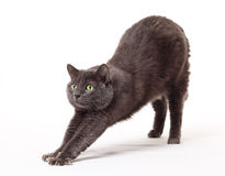 Grey cat Royalty Free Stock Images