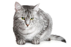Grey cat. Lying on a white background stock photo