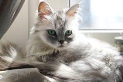 Grey cat Royalty Free Stock Image